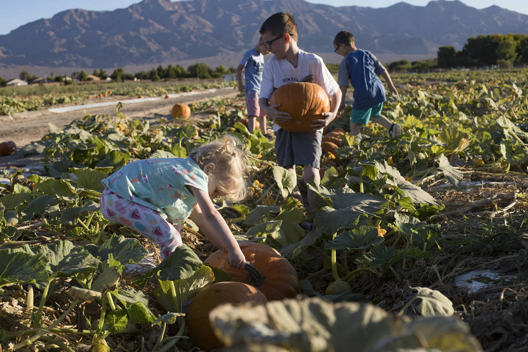 Emma-lee W., 5, picks up a pumpkin with her family at Gilcrease Orchard in Las Vegas, Tuesday, ...