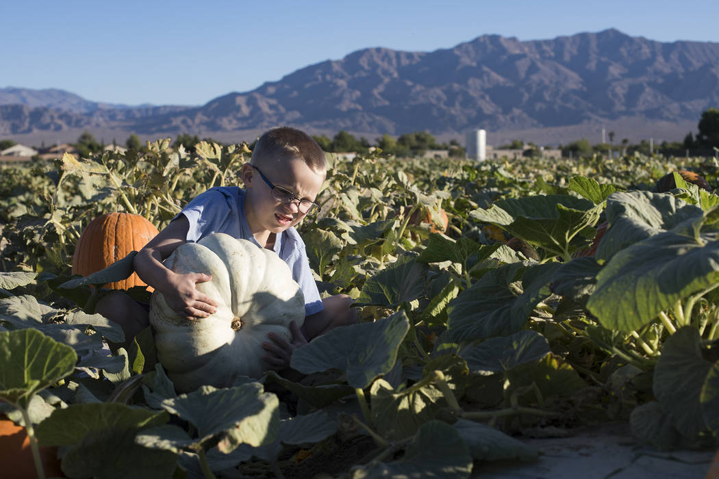 Dennis W., 7, picks up a pumpkin at Gilcrease Orchard in Las Vegas, Tuesday, Oct. 8, 2019. (Rac ...