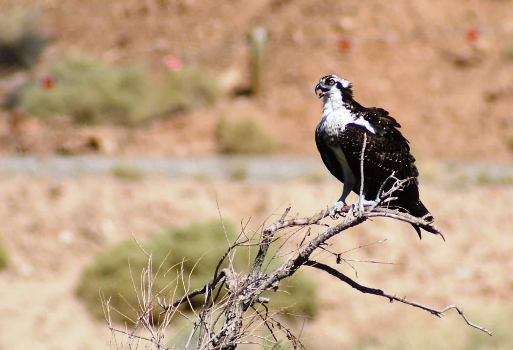 A perching osprey was one of two fishing from high above the Las Vegas Wash in mid-September. ( ...