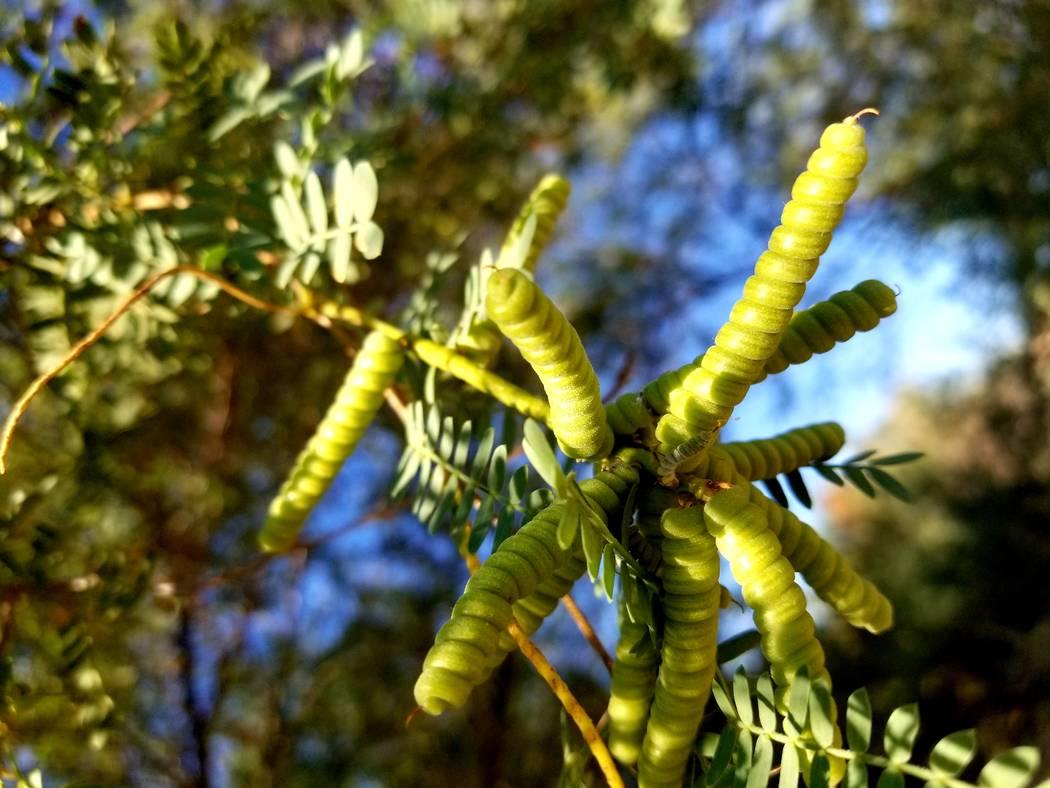 Screwbean mesquite is among the flora seen at Clark County Wetlands Park. (Natalie Burt)