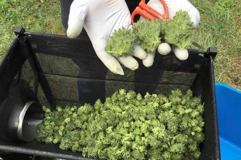 Workers harvest marijuana plants. (AP Photo/Andrew Selsky)