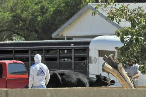 A bull is secured Sunday, Oct. 6, 2019, near Owens Avenue and Betty Lane in Las Vegas. (Mat Lus ...