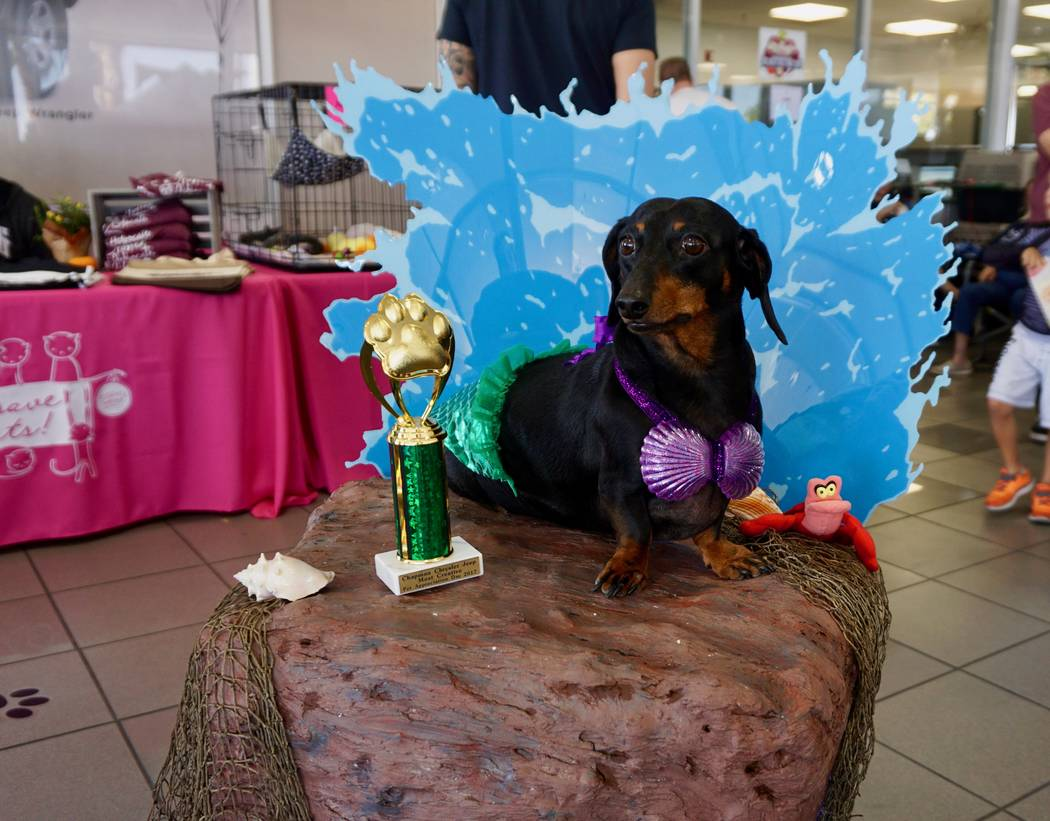 """This dog was the """"Most Creative"""" winner during the 2017 Pamper Your Pet Day at Chapman Chry ..."""