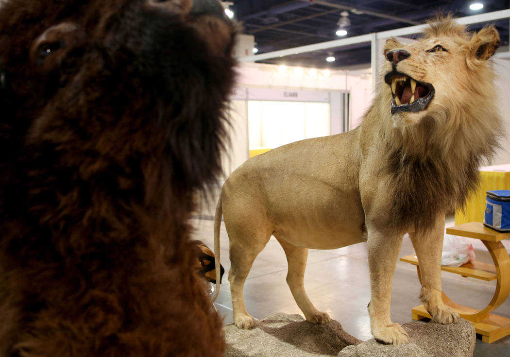 A lion taxidermy is available for purchase from the Las Vegas business, Taxidermy Collection, d ...
