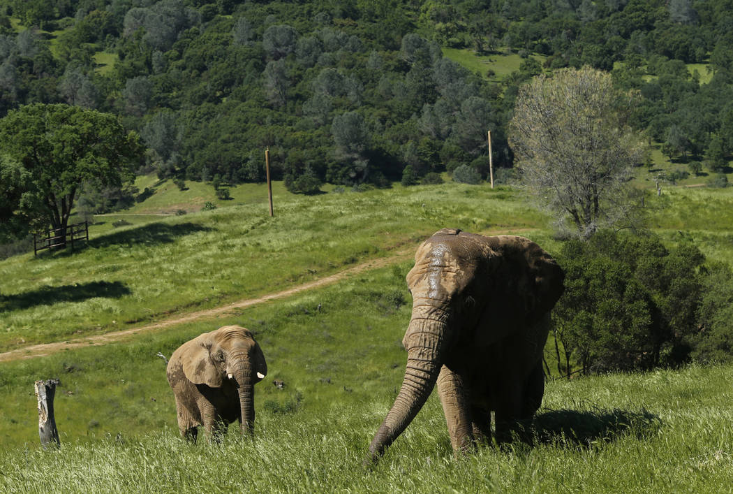 FILE -- In this Friday, April 26, 2019 file photo photo, African elephants Thika, left, and Mar ...