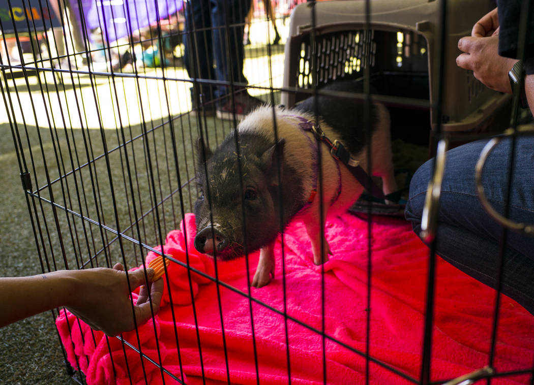 Vess, a 5-month-old pig, looks to snack on a carrot while hanging out at the Forget Me Not Anim ...
