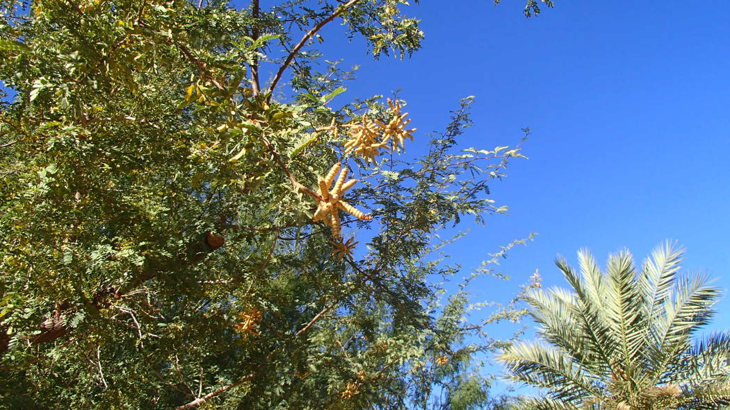 Screwbean mesquite is easily recognized by the unusual pods. (Bob Morris)