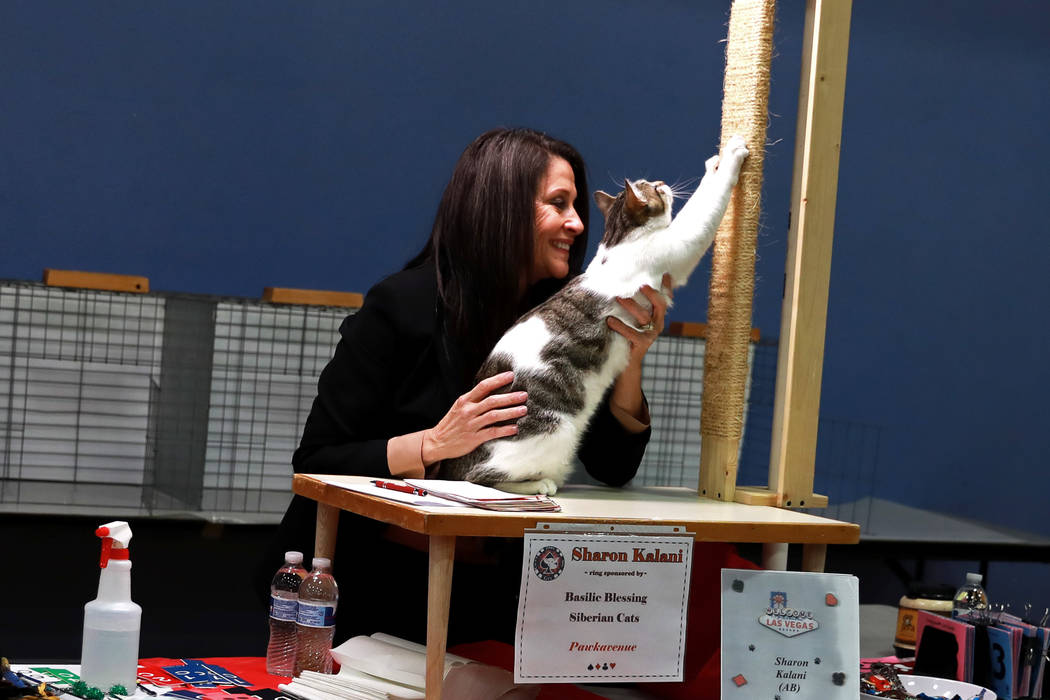 Sharon Kalani judges a brown mackerel tabby during the March Madness Cat Show at the Henderson ...