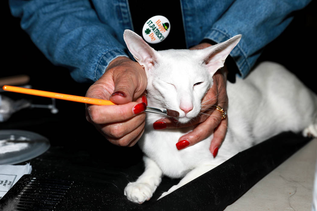 Laura Haswell prepares her oriental shorthair, named Hojpoj Moonshine of Hotstuff, during the M ...