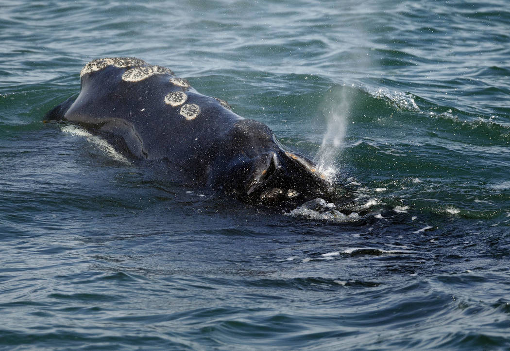 FILE - In this March 28, 2018 file photo, a North Atlantic right whale feeds on the surface of ...