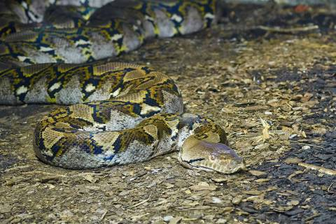 Portrait of an adult reticulated python close up. (Getty Images)