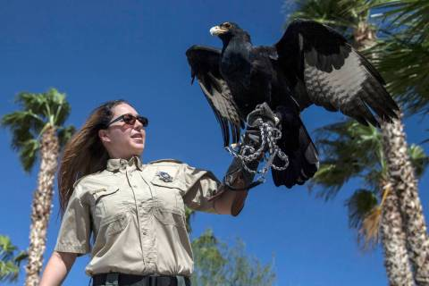 Civon Gewelber, owner of Airborne Wildlife Control Service and master falconer, holds a Verreau ...