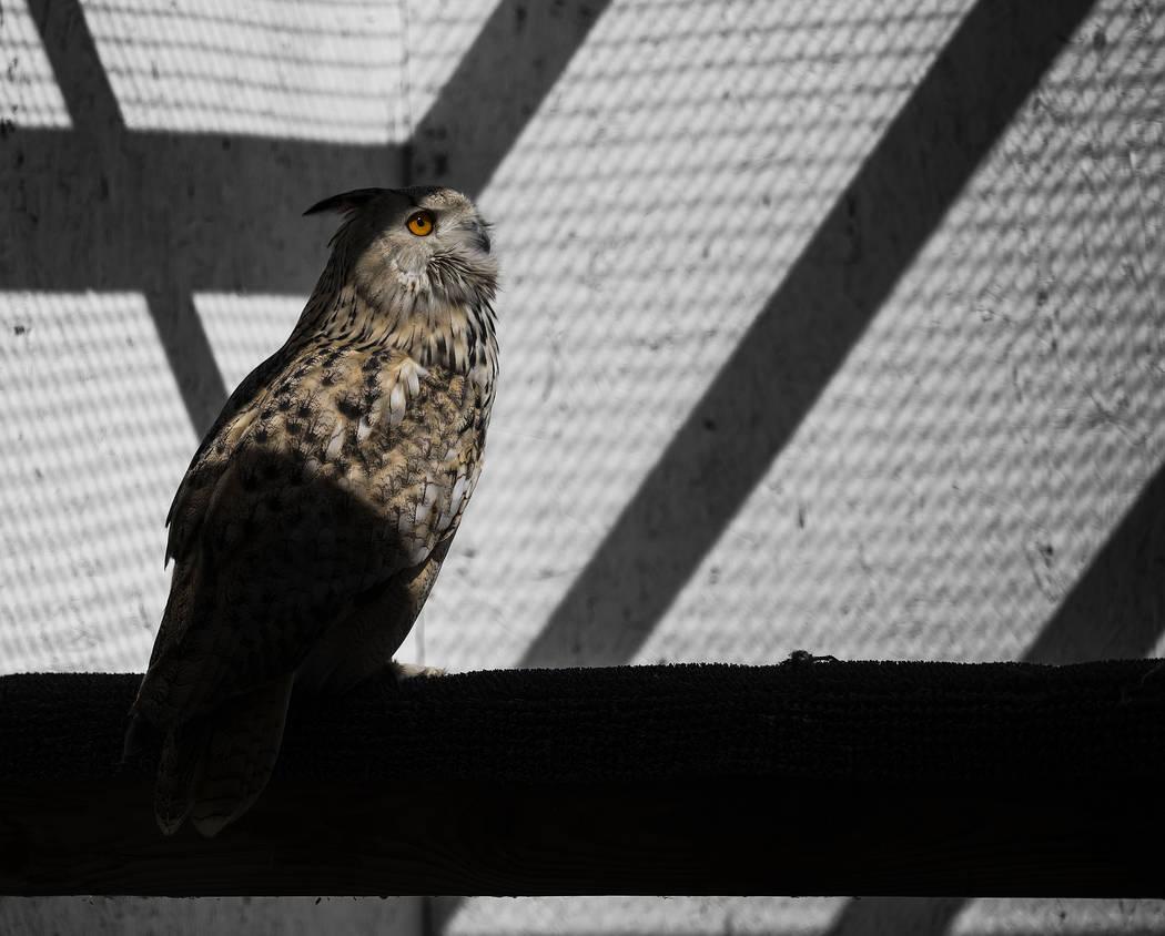 A Siberian eagle owl at Civon Gewelber's 8,000-square-foot, federally-permitted breeding facili ...