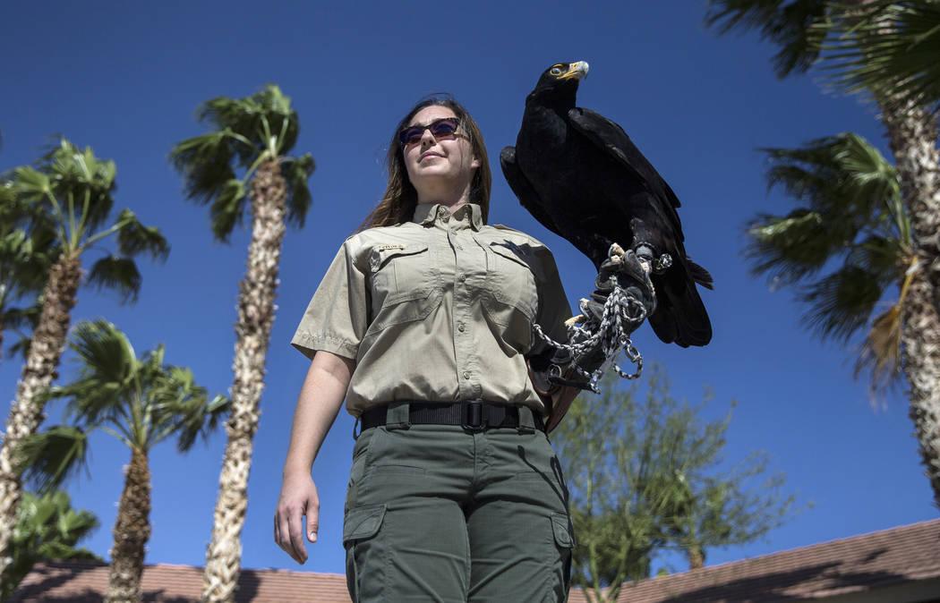 Civon Gewelber, owner of Airborne Wildlife Control Service and master falconer, holds a Verreau ...