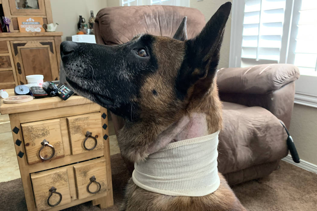 Las Vegas police dog Hunter is shown recovering from his injuries at his home on Monday, Oct. 2 ...