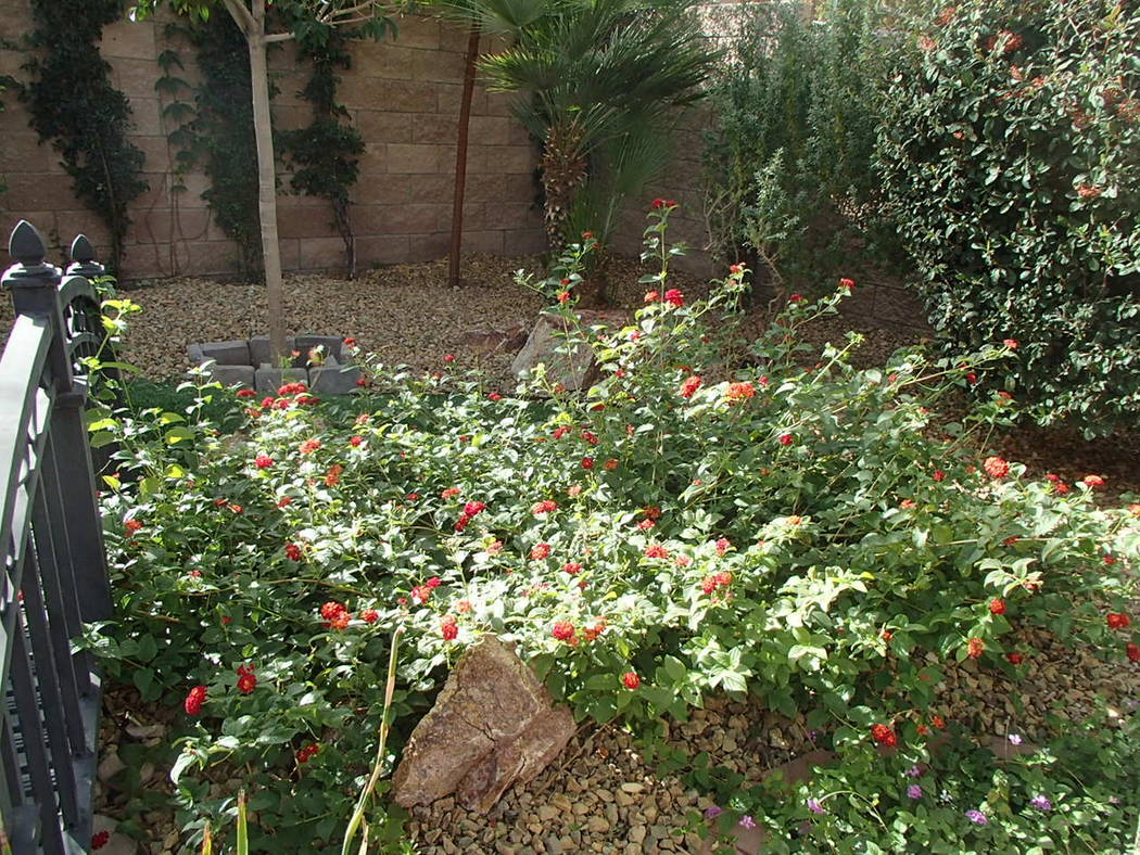 Lantana plants have long since been admired for their extended bloom time. (Bob Morris)
