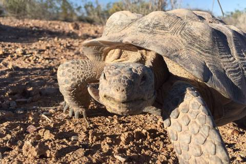 Mojave Max, the famous Southern Nevada desert tortoise, officially emerged from his Springs Pre ...