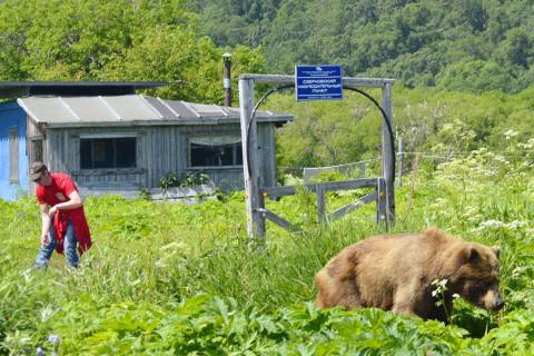 A brown bear and a man are separated by a simple electric fence near Kurile Lake on the souther ...