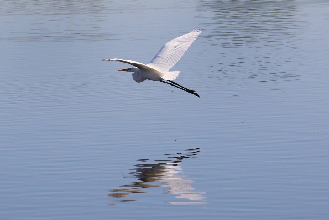 White egret flies over Henderson Bird Viewing Preserve's pond on Thursday, Nov. 7, 2019, in Hen ...