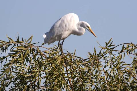 White egret sits on a tree at Henderson Bird Viewing Preserve on Thursday, Nov. 7, 2019, in Hen ...