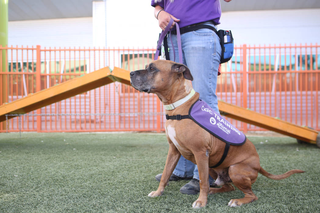 Louie, an eight-year-old mix breed available for adoption, works on manner exercises with Nicol ...