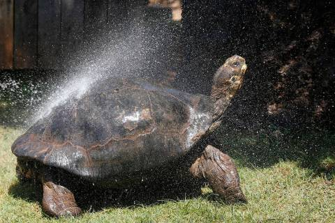 FILE--A Galapagos Tortoise cools off in a shower of water at the Oklahoma City Zoo Thursday, Ju ...