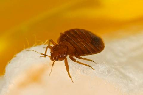 Photo of a bedbug. (Getty Images)