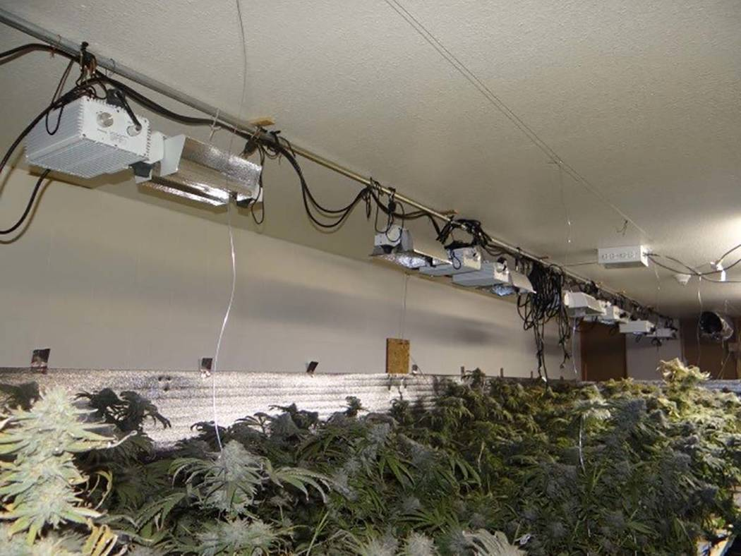 Boulder City police found approximately 800 marijuana plants at various stages of growth. (Boul ...