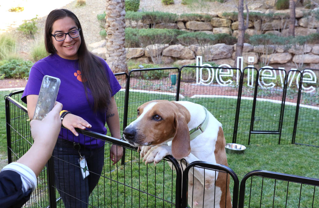Copper, a Houand mix, poses for a photo at Dignity Health's San Martin campus in Las Vegas on ...