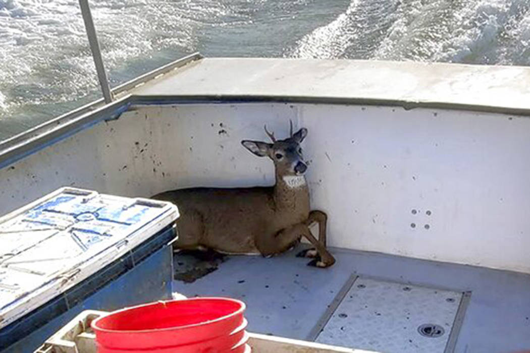 In this Monday, Nov. 4, 2019, photo provided by Jared Thaxter, a deer that was rescued from the ...