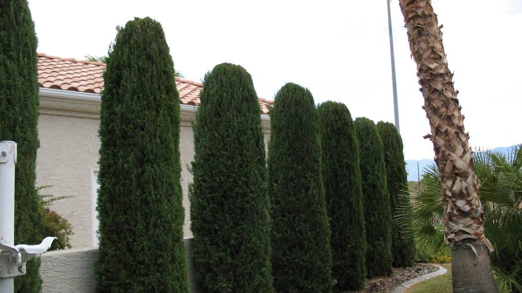 Italian cypress trees make a good visual barrier but are tall. (Bob Morris)
