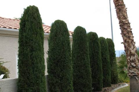 Italian cypress trees make a good visual barrier but are tall. (Bob Morris)