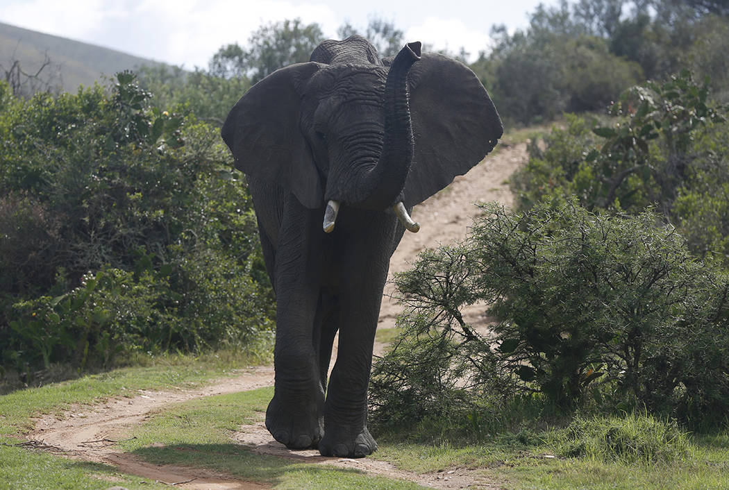 An elephant forages for food at Botlierskop Private Game Reserve, near Mossel Bay, South Africa ...