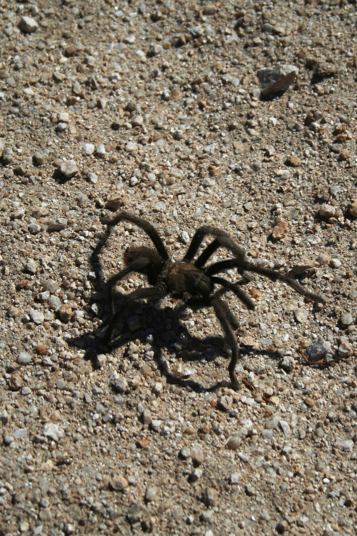 There are about 800 tarantula species worldwide, and about 50 of those species live in the Amer ...