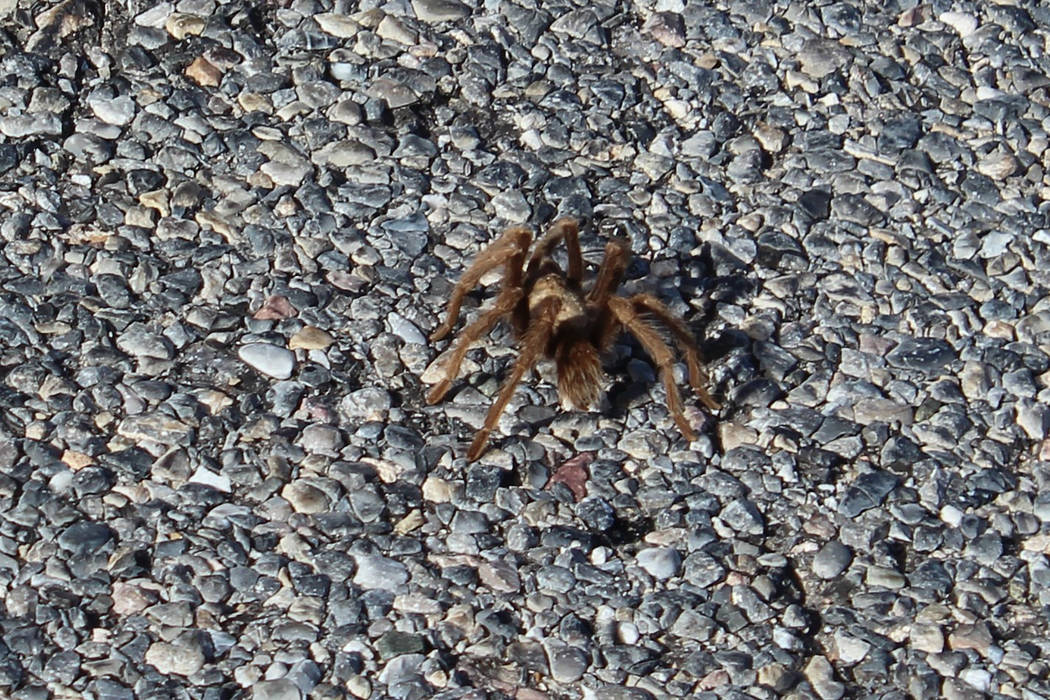 Mature tarantulas in our region are usually one-half inch to 4 inches long. (Deborah Wall/Las V ...