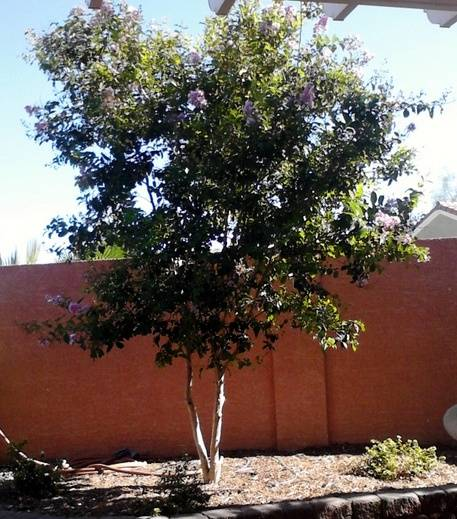 Crepe Myrtle small tree