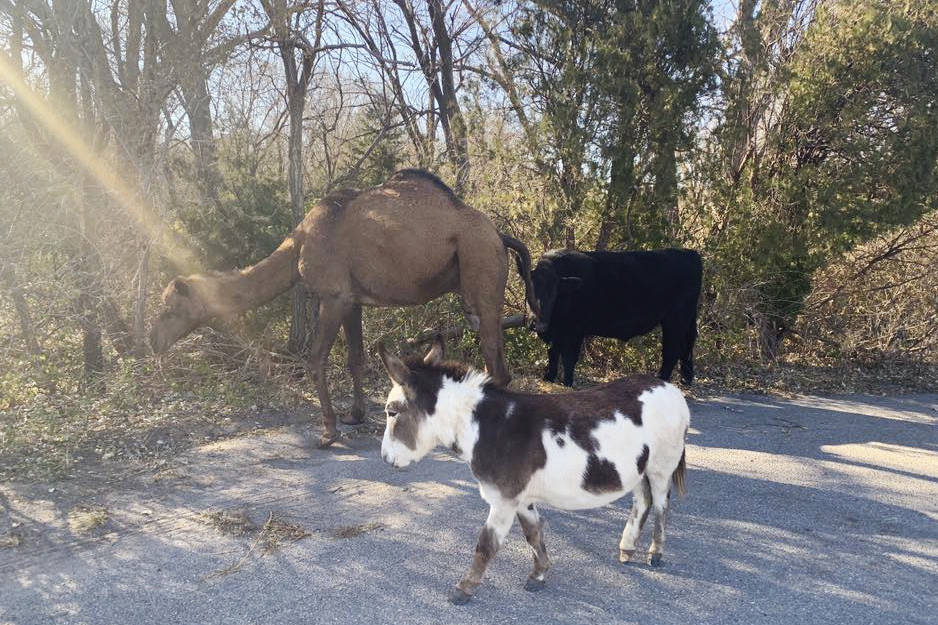 This Nov. 17, 2019 photo provided by the Goddard Police Department shows a camel, donkey and a ...