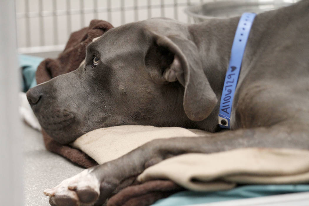 A dog named Dudley is seen at the Animal Foundation in Las Vegas, Tuesday, Nov.19, 2019. Dudley ...