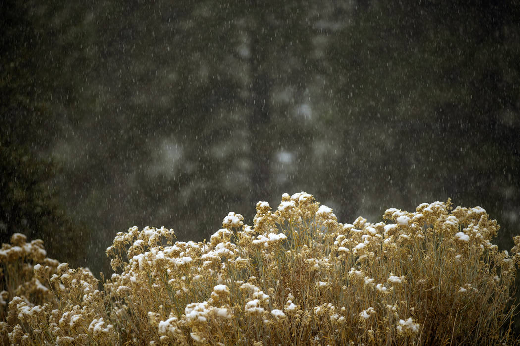 Snow falls on bushes along State Route 157 on Mount Charleston on Wednesday, Nov. 20, 2019. (L. ...