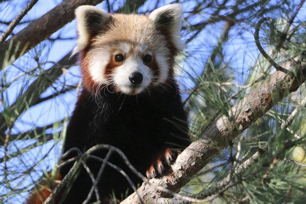 This photo released by Saint-Martin-la-Plaine zoo shows the red panda that broke out of a zoo i ...