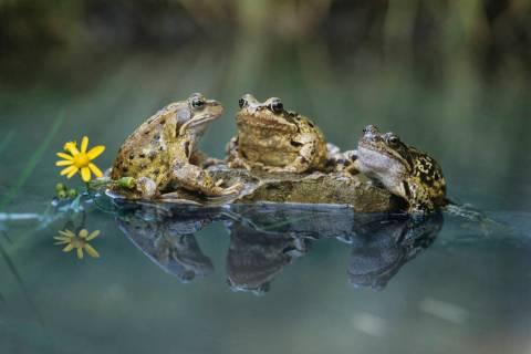 Frogs Sitting on Rock