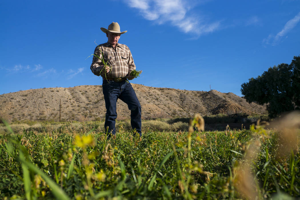 Cliven Bundy takes a look at alfalfa and ryegrass growing at Bundy Ranch in Bunkerville on Thur ...