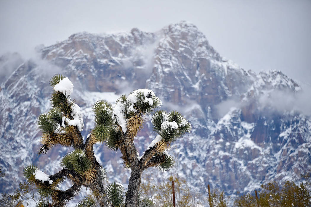 Snow covers a Joshua Tree at Red Rock Canyon National Conservation Area on Thursday, Feb. 21, 2 ...