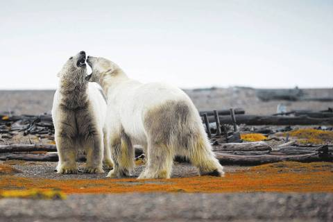 Two polar bears engaged in play fighting in the Arctic National Wildlife Refuge in Alaska. Phot ...