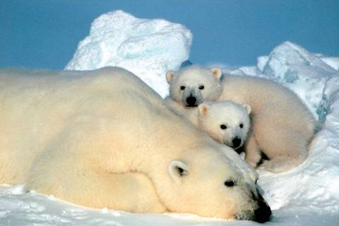 A female polar bear and her cubs are shown in the Arctic National Wildlife Refuge in Alaska. (A ...