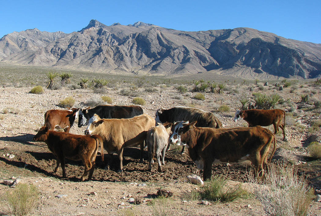 Cattle owned by rancher Cliven Bundy roam a range in the Gold Butte area near Bunkerville in 20 ...