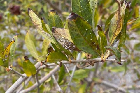 Whiteflies, such as these on a pomegranate bush, are hard to control. In small numbers, they ca ...