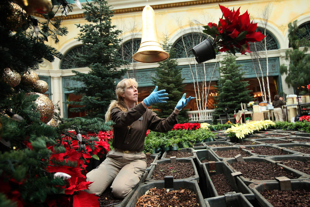 Horticulturalist Susie French prepares to catch a poinsettia while preparing the 2011 holiday d ...