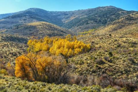 Fall leaves color the Ruby Mountains of Northern Nevada, where the U.S. Forest Service is study ...