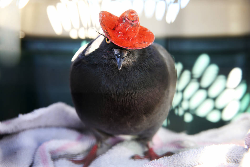 """""""Cluck Norris"""" the cowboy-hatted pigeon after being wrangled at a condominium complex ..."""